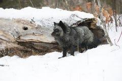 Серебряный Fox и лес Стоковое Фото
