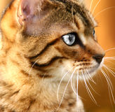 серебр глаз Стоковая Фотография RF
