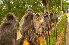 Серебр-листанные обезьяны в Bukit Melawati, Kuala Selangor, Малайзии Стоковые Фото