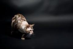 серебр кота Стоковые Изображения