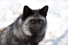 серебр лисицы Стоковое фото RF