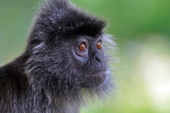 серебр обезьяны листьев Стоковая Фотография RF