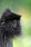 серебр обезьяны листьев Стоковые Фотографии RF
