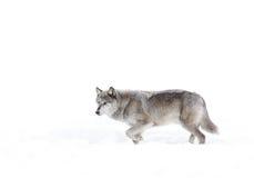 Серебр покрасил черного волка в снеге зимы Стоковые Фотографии RF