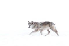 Серебр покрасил черного волка в снеге зимы Стоковое Изображение