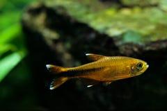 Серебр рыб аквариума наклонил танк аквариума Tetra заплывания пресноводный Стоковое фото RF