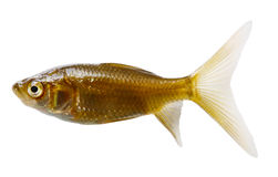 серебр рыб кометы Стоковое фото RF