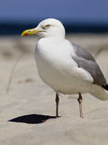 серебр чайки пляжа Стоковое фото RF