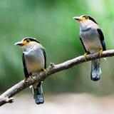 Серебр-breasted Broadbill Стоковые Фото