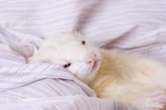 серебр ferret Стоковые Изображения