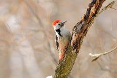 Середина запятнала woodpecker сидя на дереве против предпосылки других деревьев Стоковое Изображение
