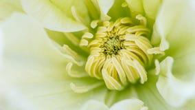 Середина конца-вверх clematis красивого цветка белого зеленого, макроса, малой глубины поля Стоковые Фото