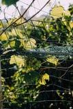 Середина лета и виноградина стоковое фото rf