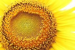 Середина солнцецвета Стоковое Изображение
