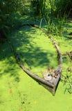 Середина шлюпки цветения болот стоковая фотография