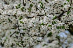 Серии белого крупного плана цветения стоковое изображение