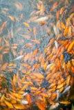 Серии золотых рыб в пруде Стоковые Фото