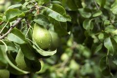 Серии зрелых зеленых груш растя на дереве, полезная осень приносить Стоковые Фото