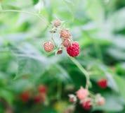 Серии красных зрелых поленик на кусте Стоковое фото RF