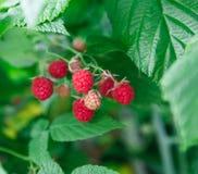 Серии красных зрелых поленик на кусте Стоковое Фото