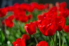Серии красных тюльпанов Концепция дизайна ландшафта весной, садовничающ, украшающ усадьбу стоковые фото