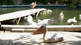 Серии пеликанов на зоопарке акции видеоматериалы