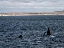 Серии ребер правильного кита Стоковые Фотографии RF