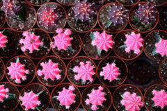 Серии розового кактуса в баках Стоковое фото RF