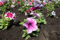 Серии розовых, белых и фиолетовых цветков петуньи Стоковые Фото