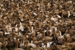 Серии утки в местной ферме Стоковое фото RF