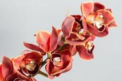 Серии цветка орхидеи бутонов оранжевых коричневых или орхидеи фаленопсиса Свет - серая предпосылка Стоковое фото RF