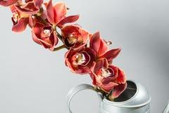 Серии цветка орхидеи бутонов оранжевых коричневых или орхидеи фаленопсиса Свет - серая предпосылка Стоковая Фотография RF