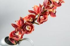 Серии цветка орхидеи бутонов оранжевых коричневых или орхидеи фаленопсиса Свет - серая предпосылка Стоковые Изображения RF