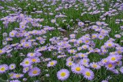 Серии цветя speciosus Erigeron Стоковые Изображения