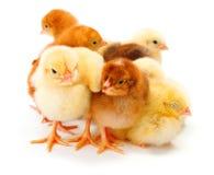 Серии newborn цыплят стоя совместно Стоковое Изображение