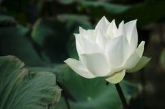 Серия 1_1 белого лотоса Стоковая Фотография RF