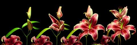 Серия Врем-упущения лилии Стоковое Фото