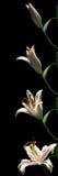 Серия Врем-упущения лилии Стоковые Изображения RF