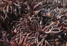 Серия высушенного chili Стоковые Фотографии RF