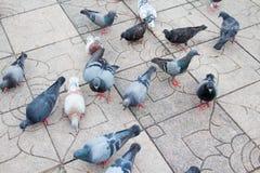 Серия голубя в парке Стоковая Фотография RF