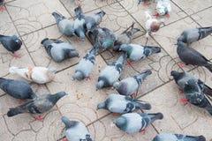 Серия голубя в парке Стоковые Изображения RF