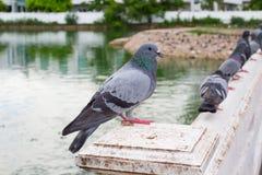 Серия голубя в парке Стоковые Фото