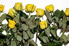 Серия желтых роз на белой предпосылке Стоковая Фотография RF