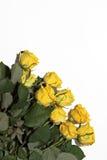 Серия желтых роз на белой предпосылке Стоковое фото RF