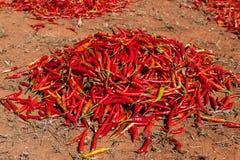 Серия засыхания красного chili на поле в Мьянме Стоковые Фото
