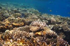 серия коралла Стоковая Фотография