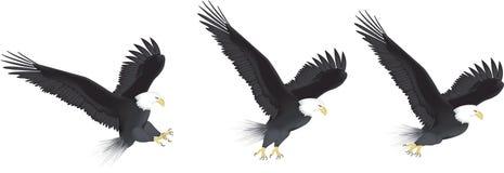 серия летания орла Стоковая Фотография RF