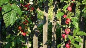 Серия малых красных яблок на ветвях против старой деревянной загородки акции видеоматериалы