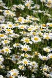 Серия маргаритки поля цветет на луге в крупном плане летнего дня Стоковые Фото