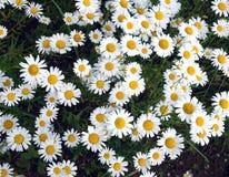 Серия маргаритки поля цветет на луге в крупном плане летнего дня Стоковое Изображение
